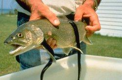 http://en.wikipedia.org/wiki/Sea_lamprey#mediaviewer/File:Sea_Lamprey_fish.jpg