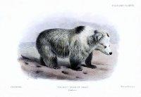 http://upload.wikimedia.org/wikipedia/commons/4/4b/Tibetan_Blue_Bear_-_Ursus_arctos_pruinosus_-_Joseph_Smit.jpg