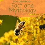 Goldenrod:  Fact and Mythology