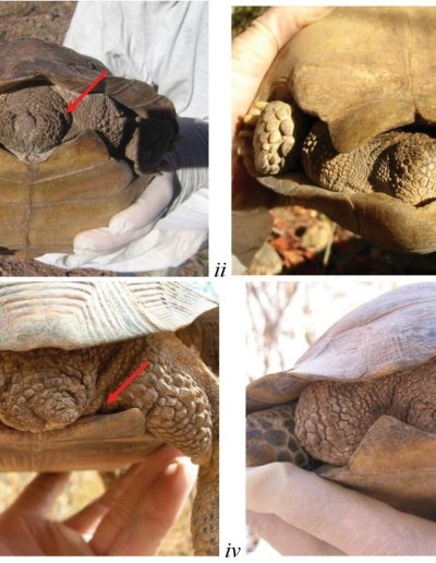 New Mexican Tortoise Species