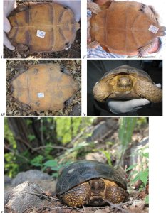 New species of Mexican tortoise