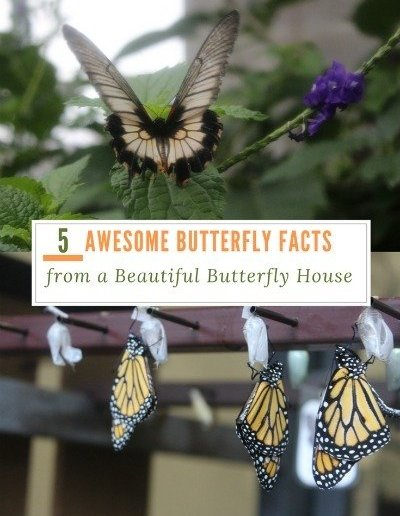 5 Awesome Butterfly Facts from a Beautiful Butterfly House - http://sciencealcove.com/2017/03/5-cool-facts-learned-at-the-cambridge-butterfly-conservatory/