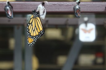 Butterfly facts: Monarch butterflies