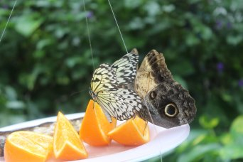 Butterfly facts: Costa Rican butterflies