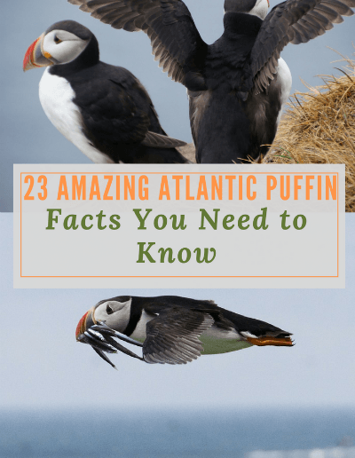 23 Amazing Atlantic Puffin Facts You Need to Know-