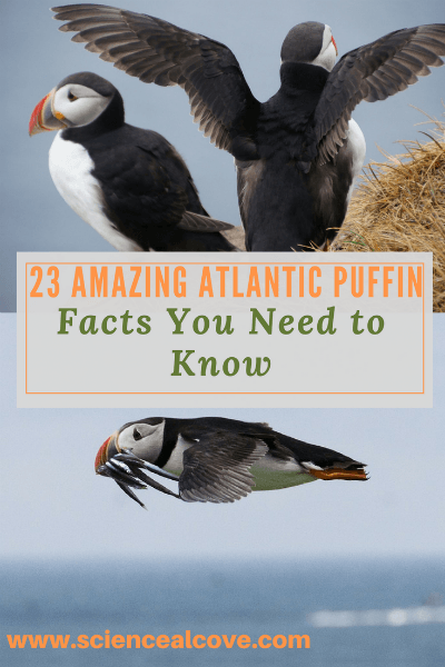 23 Amazing Atlantic Puffin Facts You Need to Know