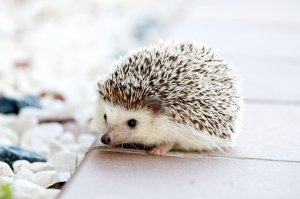 Adorable hedgehog not a tin hedgehog
