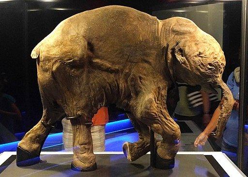 Lyuba the mummified baby mammoth.