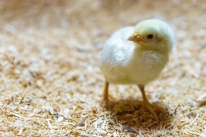 baby-chick-1443978698YEB