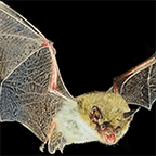Discover Amazing Northern California Bats