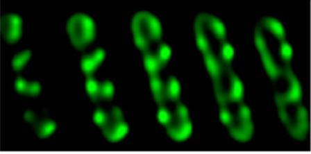 Agrobacterium Image: Zambryski Lab