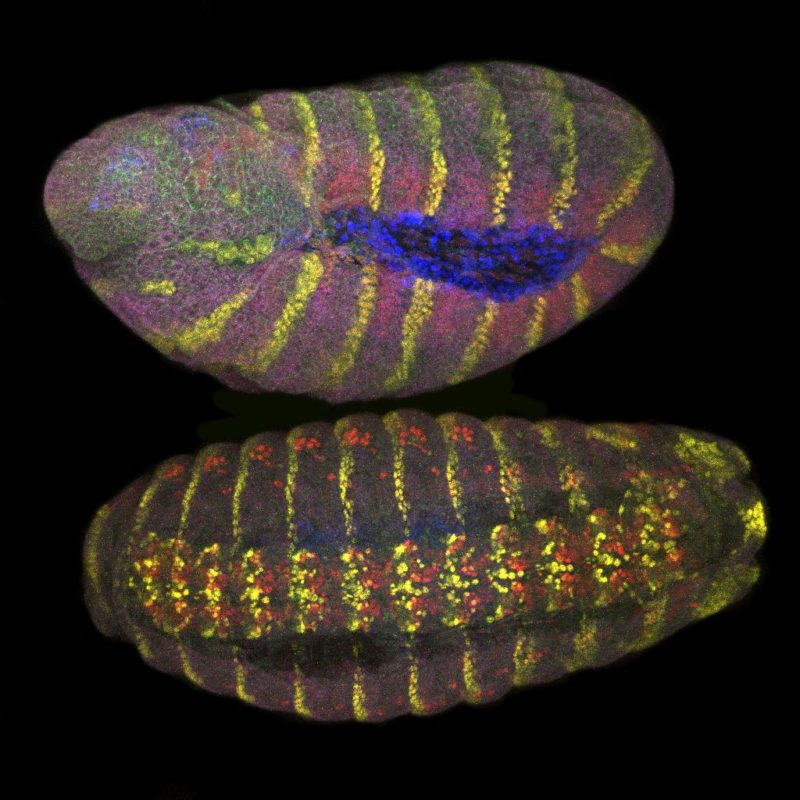 Fly embryo