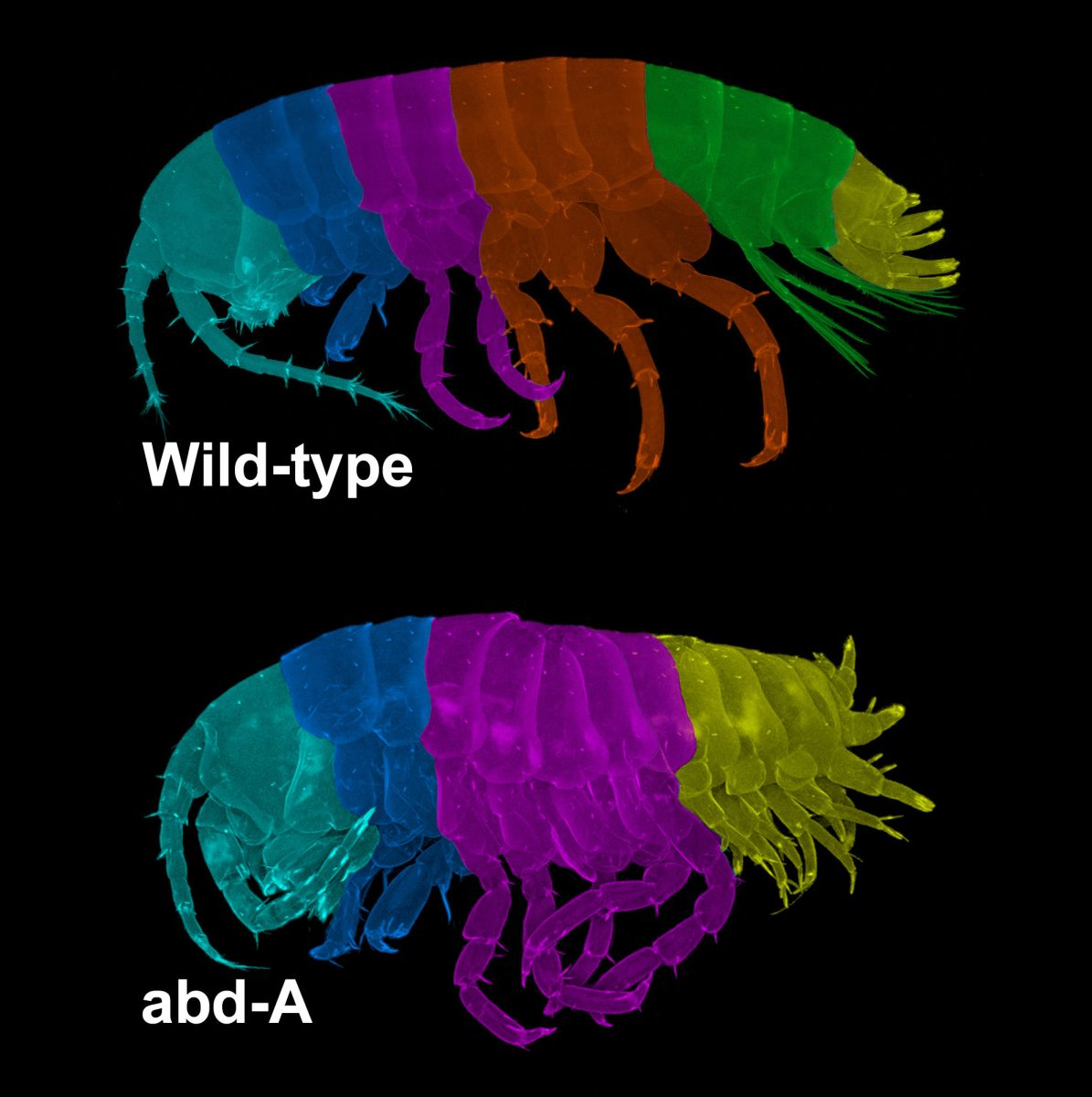 Segmentation in an Arthropod