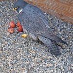 Annie, the peregrine falcon nesting on the campanile