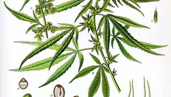 Cannabis Cure For Brain Cancer Headline Is Misleading Cancer Research Uk Science Blog