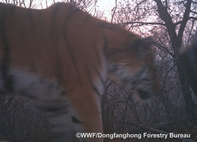 Close-up of Amur tiger thrills researchers