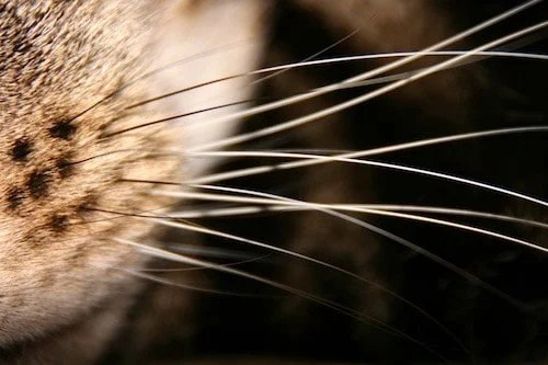 Calculating whiskers send precise information to the brain