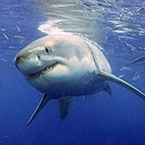 Study finds white sharks can live 70 years and longer