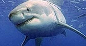 Stealh secrets of sharks revealed
