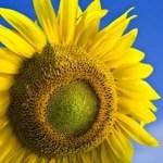 Sunflower design improves solar efficiency