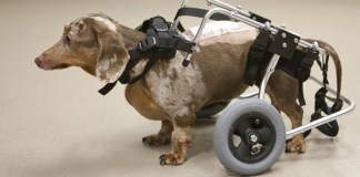 Saving Dogs with Spinal Cord Injuries
