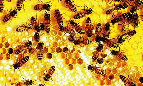 Nurse bees tending to brood in cells both open and capped with beeswax. Recent work at Washington University in St. Louis suggests that the division of labor in honeybee colonies is controlled by small segments of noncoding RNA called micro-RNAs, or miRNAs.