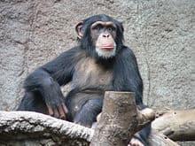 Chimp dudes choose their bros carefully