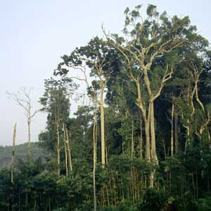 Warming climate unlikely to cause extinction of ancient Amazon trees