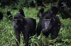 Better outlook for dwindling black macaque population in Indonesia