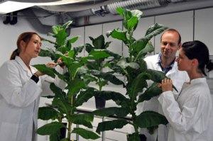fk01_13_g_Thema5_Tabakpflanzen_IME