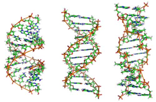 DNA's Dynamic Nature Well-Suited for Blueprint of Life