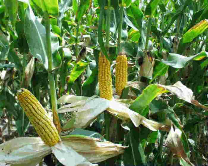 A novel way to make ethanol without corn or other plants