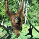 360px-SD_Zoo_Orangs