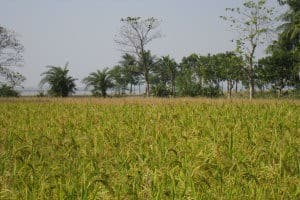 Research shows contaminated rice's genetic threat