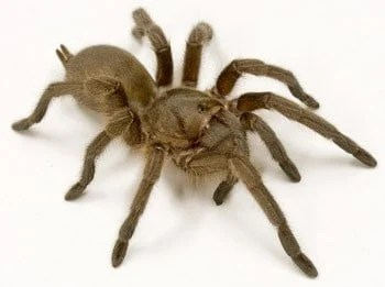 Spider peptides battle superbugs and cancer