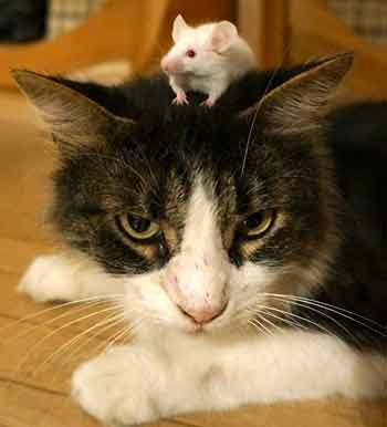 Toxoplasma infection permanently shifts balance in cat and mouse game