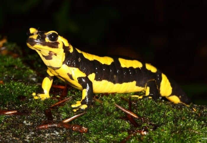 Fire salamanders under threat from deadly skin-eating fungus