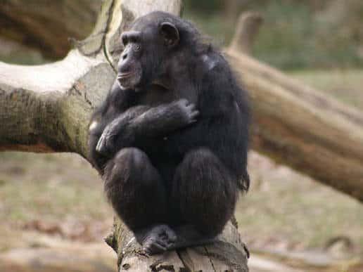 Chimpanzee Tushi (Copyright: Jorg Massen)