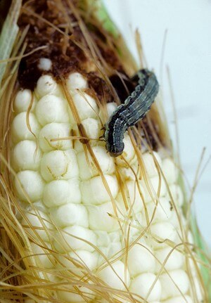 Produce perfect: Biotech sweet corn goes unblemished