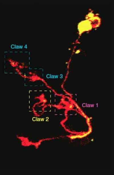 Neuron 'claws' in the brain enable flies to distinguish 1 scent from another