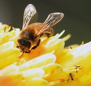 Ants more closely related to bees than to most wasps