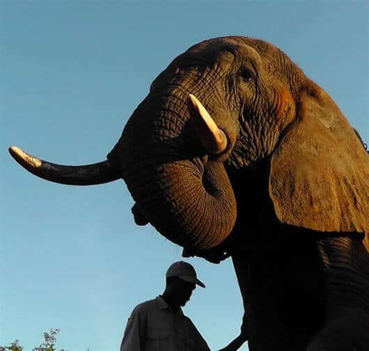 Elephants understand humans in a way most other animals don't