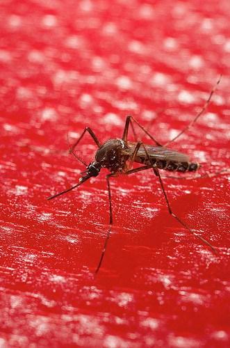 Breadfruit: Bad news for mosquitos