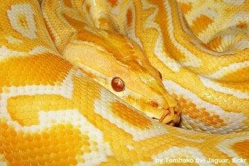 Burmese python genome reveals extreme adaptation
