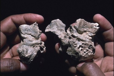 4 million-year-old 'Ardi' fossil more human than ape, study confirms