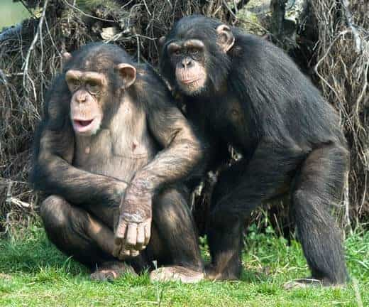 Chimp empathy key to understanding human engagement