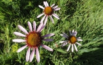 The truth about Echinacea: Plant commonly used for colds and flu suffers from disappearing habitat