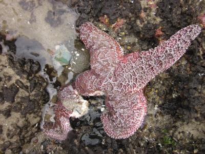 Sea star disease epidemic surges in Oregon, local extinctions expected