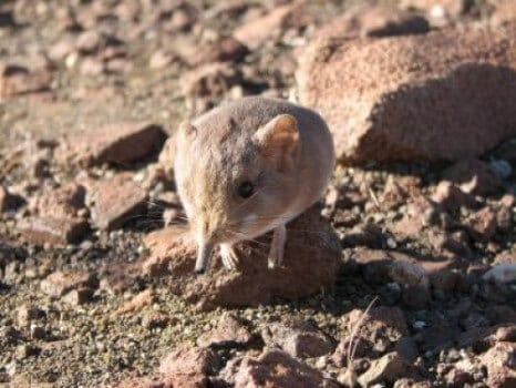 New species of small mammal discovered: An elephant shrew