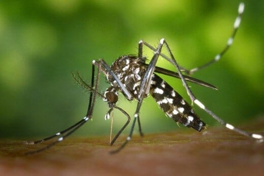 More mosquito species than previously thought may transmit Zika